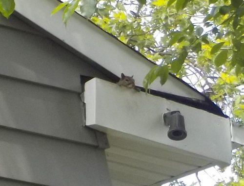 3 Big Dangers of Squirrels in the Attic